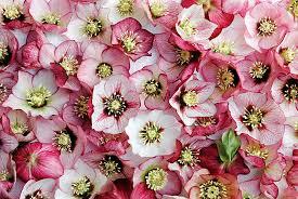 mardi gras roses mardi gras bicolor mix lenten monrovia mardi gras bicolor
