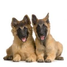 belgian sheepdog guard dog belgian tervuren breed information u0026 pictures belgian shepherd