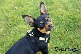 my curli curli air mesh sele fra smartdog dk tosset med hund