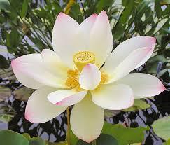 Lotus Flower Parts - the divine lotus flower