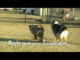 commercials with australian shepherds 2009 akc eukanuba commercial contest youtube