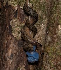 native plants in maryland maryland biodiversity project leopard slug limax maximus