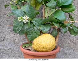 etrog for sale citron etrog stock photos citron etrog stock images alamy