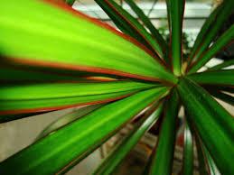 dracaena marginata madagascar dragon tree house plants
