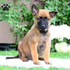 belgian sheepdog puppies for sale uk belgian malinois puppies for sale greenfield puppies