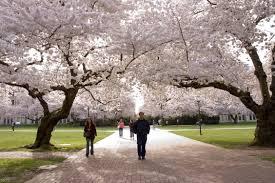 cherry blossom watch 2012 any bloomin u0027 day now uw news