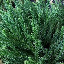 cedar trees for sale nature nursery
