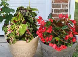 care instruction dragon wing begonia