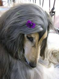 does an afghan hound shed 365 best dogs images on pinterest afghan hound afghans and dogs