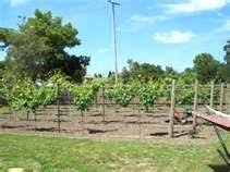 Best Backyard Vineyard Images On Pinterest Grape Vines - Backyard vineyard design