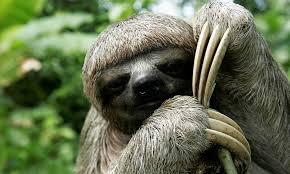 4 toed sloth sloth species wwf