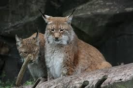 cats afterpains mammal monday 38 tierpark beauties dinosaurpalaeo