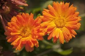 calendula flowers how to harvest and calendula