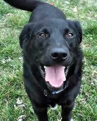 belgian shepherd lab mix alsatian dog black dog breeders guide