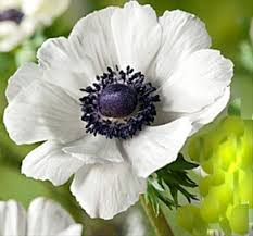 anemones flowers marianne white anemone flowers and fillers flowers by