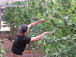 growing medical weed is not a crime california appeals court