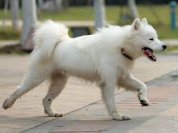 american eskimo dog for sale ontario search locally for american eskimo dog puppies and dogs nearest