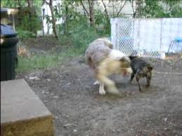 australian shepherd vs corgi chihuahua vs australian shepherd chihuahua almost wins youtube