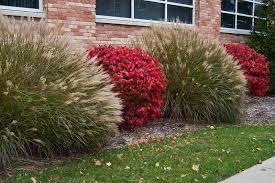 size picture of burning bush cork bush winged
