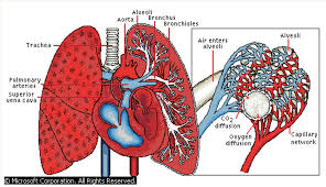 pulmonary anatomy image collections human anatomy image