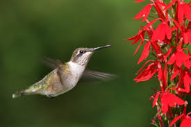 Hummingbird On A Flower - a match made in a wetland cardinal flower and the ruby throated