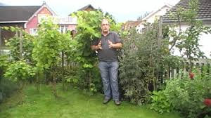 how to plant your own grapevines youtube
