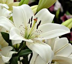 lilly flowers lilies flowers bulbs gardens more white