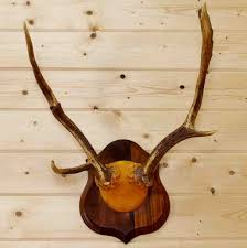 horns for sale fallow deer antlers sw8894 for purchase at safariworks taxidermy sales