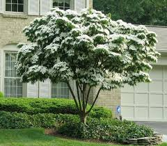 Trees With White Flowers White Kousa Dogwood Tree Elegant White Blooms Cover This Unique