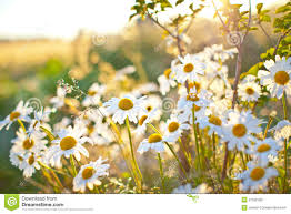 closeup of beautiful white daisy flowers stock photo image 27992300