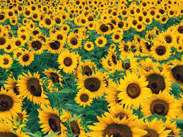 sunflower pictures dame farm orchards home page