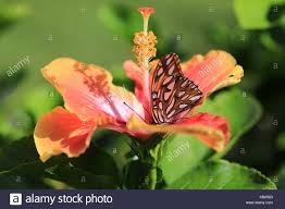flower plant butterfly hibiscus wings stock photos flower plant