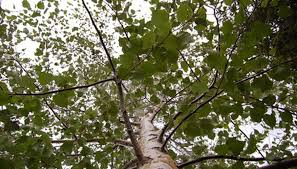what is the meaning of ash trees garden guides