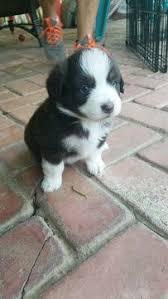 5 week old mini australian shepherd litter of 2 miniature australian shepherd puppies for sale in