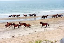 wild horses u0027 fate in outer banks lies in preservation clash the