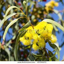 eucalyptus erythrocorys stock images royalty free images