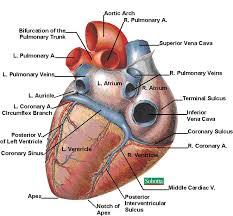 Human Anatomy And Physiology Courses Online 155 Best Anatomy U0026 Physiology Images On Pinterest Medicine