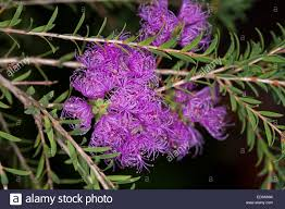 australian native plants for rock gardens video and photos cluster of vivid purple flowers and small green leaves of