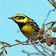 California Backyard Birds by Warbler