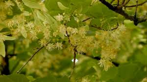 linden flower linden flower tea benefits
