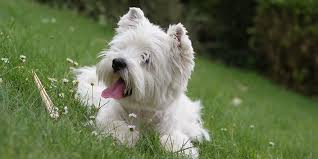 american pitbull terrier z hter deutschland hypoallergenic dog breeds best hypoallergenic dog list