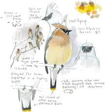 how to draw a bird audubon