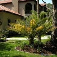 sylvester palm tree price buy sylvester palm trees at best price plants