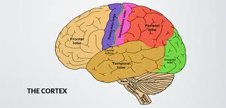 What Portion Of The Brain Controls Respiration Human Brain Structure And Their Functions In Human Body