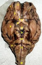 Sheep Heart Anatomy Quiz Inferior Sheep Jpg