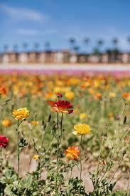 carlsbad flower garden carlsbad flower fields thrifts and threads