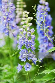delphinium flowers blue delphinium flowers vertical stock photo getty images