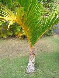 palm tree care learn how to grow a palm tree