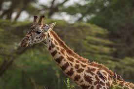 rare baby white giraffe and its mom spotted in kenya simplemost