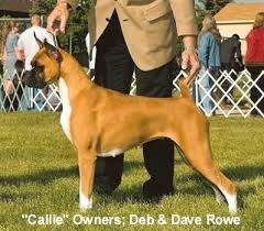 boxer dog with tail the cropping docking debate thedogplace org showplace